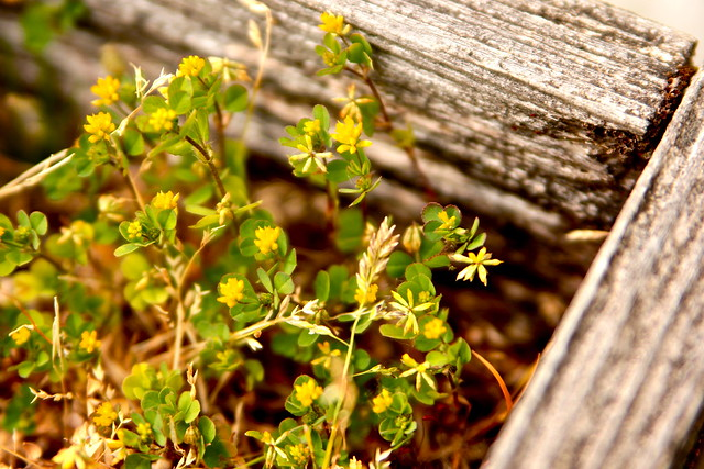 Tiny Yellow Flowers