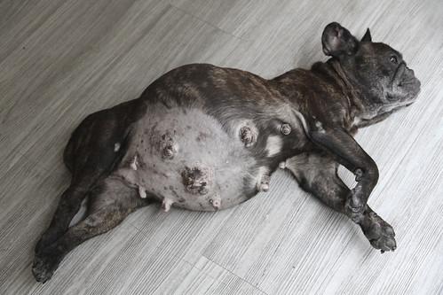French Bulldog Rolex