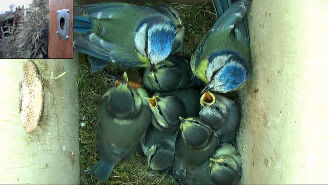20 day old Blue Tit chicks and parents