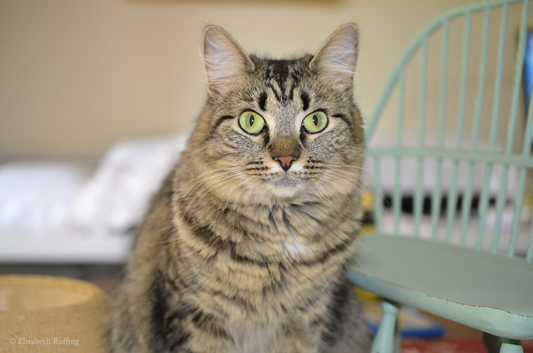 Tabby cat, photo by Elizabeth Ruffing