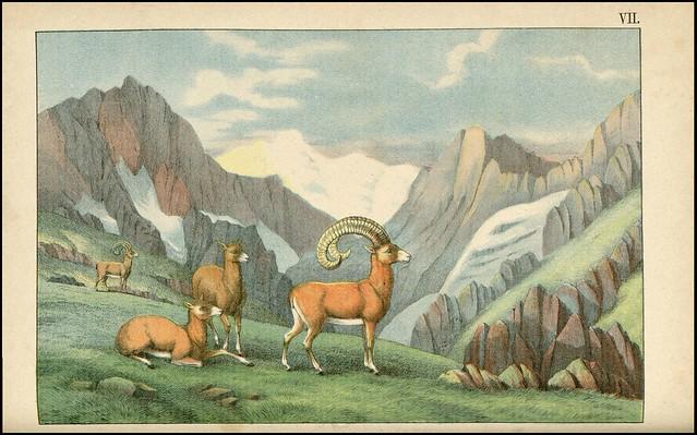 zoological chromolithograph - Le mouflon