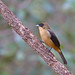 Black-goggled Tanager - Brazilian Birds - Species # 009 by Bertrando©