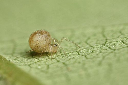 Egg on legs - a tiny spider #2