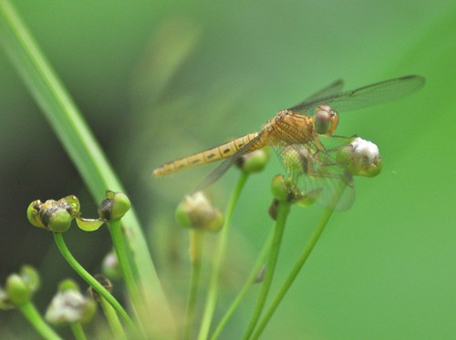 pond singapore dragonfly botanicalgarden