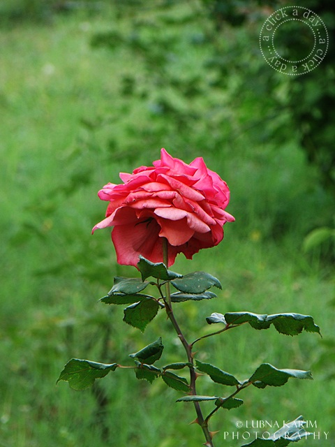 Lonely/Lovely Rose....?