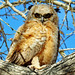Horned Owl Chick2