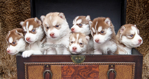 Siberian Husky Puppies!