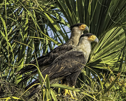 Lake Istokpoga - Caracara - Breeding Pair