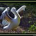 Pelicano  by ISO 3000