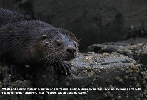 Marine otter Peru 2