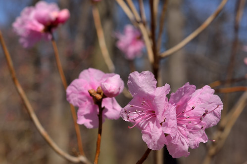 Korean Rhododendrons