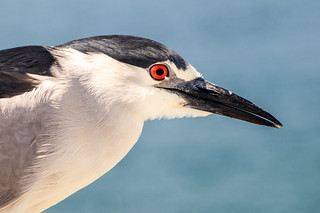 Night Heron in LA 3-0 F 4-9-14 J026