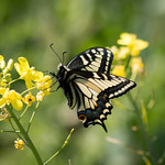 Oregon Swallowtail (Papilio machaon oregonius)