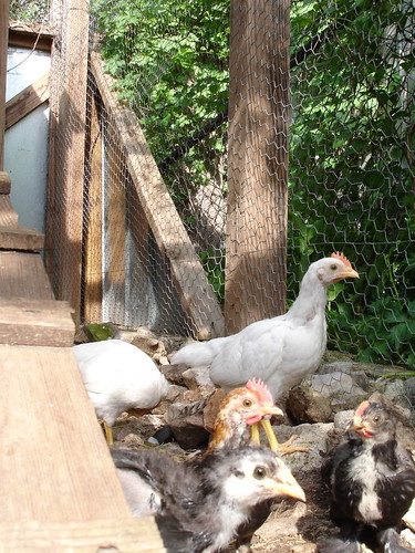 in the coop