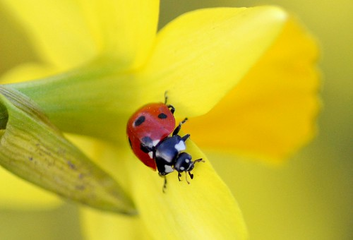 Ladybird on Daffodil