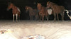 20090809 0341 - Assateague Island camping - ponies at the bonfire - (from the 8's) - SI851770