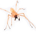 Agrarian Sac Spider - Photo (c) Marc AuMarc, some rights reserved (CC BY-NC-ND)