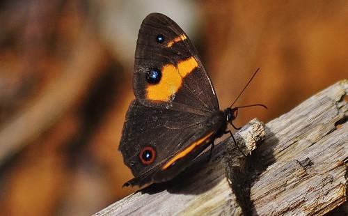 Swordgrass Brown