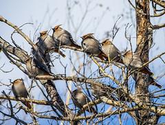Bohemian Waxwing Flock