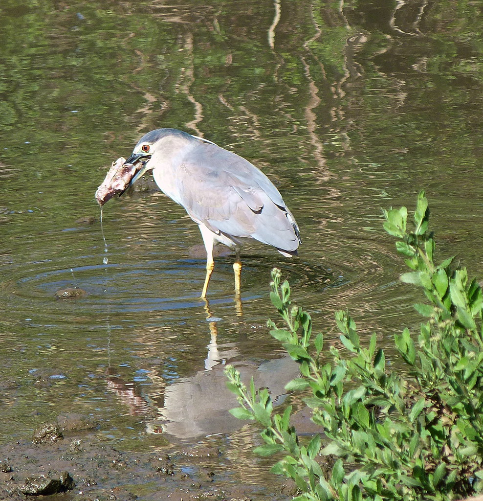 13-04-2012-night-heron-breakfast