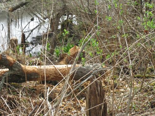 Beaver chew marks