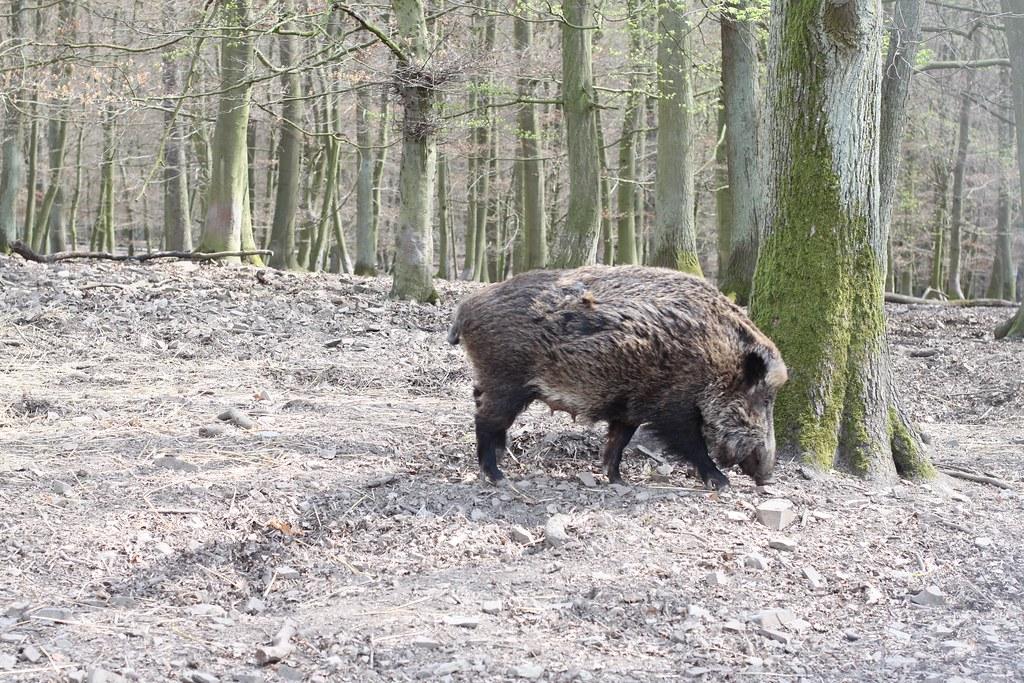 Wild Boar / Wildschein