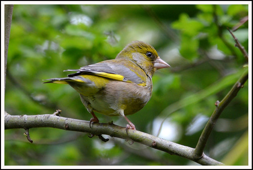 Greenfinch 11a