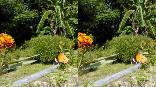 Danaus chrysippus, stereo parallel view