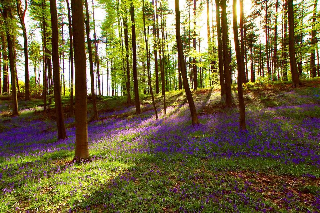Bosque de Hallerbos-Bélgica