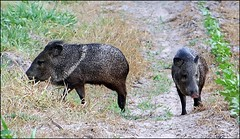 animal, peccary, wild boar, pig, grazing, fauna, pig-like mammal, wildlife,