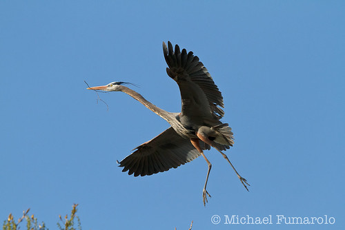 Great Blue Heron Returning To It's Nest - 03