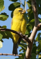 Yellow Canary (Crithagra flaviventris)