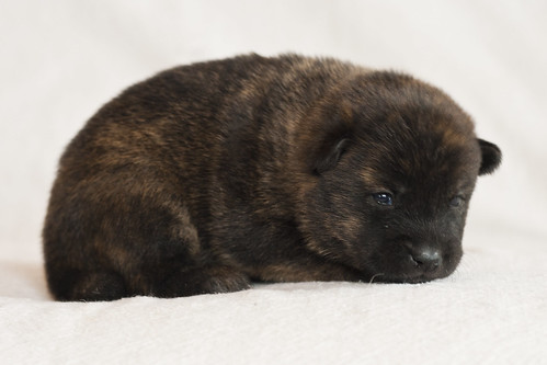 Haru-Third-Litter-Pup2-Female-Day15b