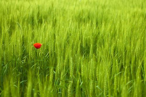 無料写真素材, 花・植物, 小麦・コムギ, ヒナゲシ, 田園・農場