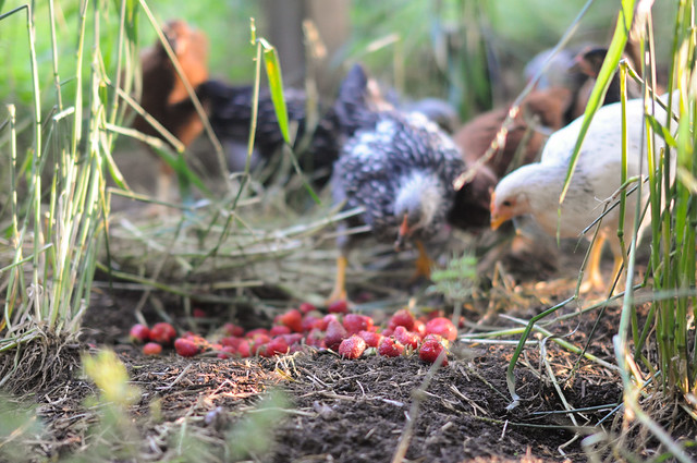 our chicks did NOT go crazy over strawberries
