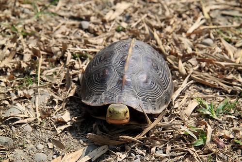 民間發起連署增訂未遂罰則,搶救食蛇龜。(攝影:陳帝溶)