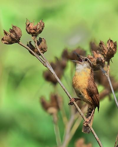 bird florida song birding carolinawren thryothorusludovicianus