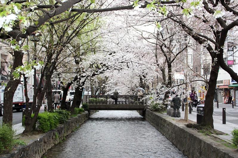 Kyoto-Cerisiers en fleurs-Cherry Blossoms-Sakura