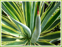 Agave desmettiana 'Variegata' (Dwarf Variegated Agave, Variegated Smooth Agave/Century Plant) with focus on its apical spine
