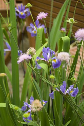 Iris Gerald Darby and Knautia Melton Pastels v