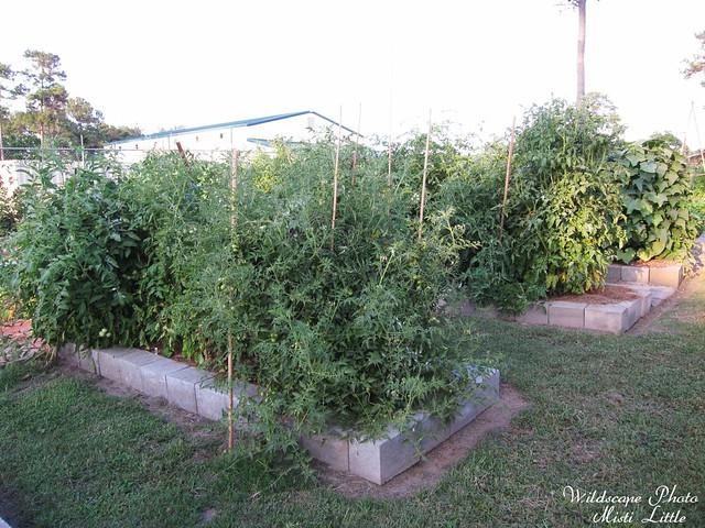 tomatoe6