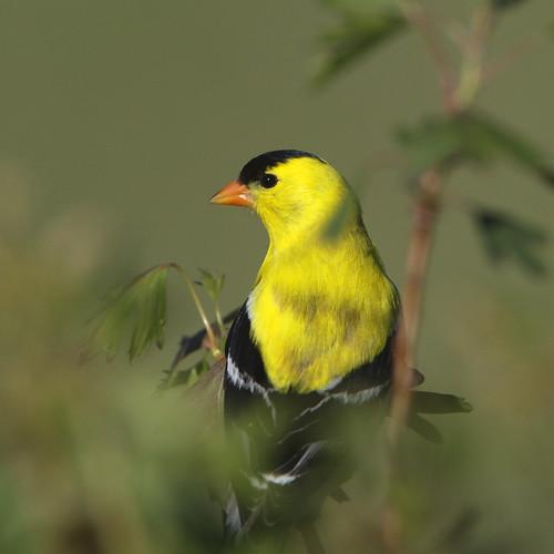 Goldfinch under attack...