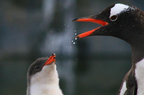 Gentoo Penguins by DJG.Sydney