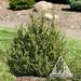 Cedrus libani brevifolia Kenwith