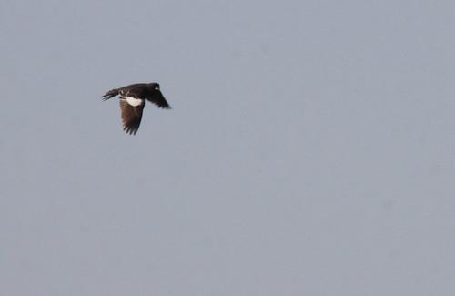 Lark Bunting in Flight
