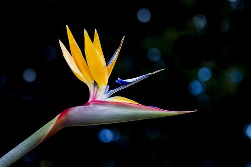 無料写真素材, 花・植物, 極楽鳥花