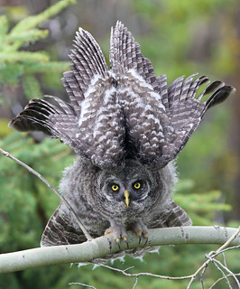 Great Gray Owl Juvenile