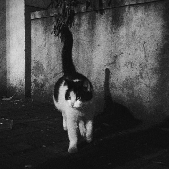 #bnw#cat#kitty#catsofinstagram#vscocam#shanghai#shanghai_street#猫#黑白#shadow#夜色#奶牛#night