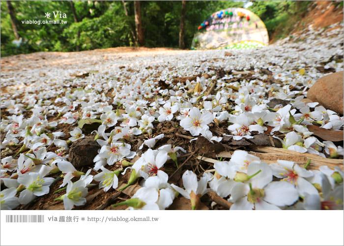 【彰化油桐花】福田桐花生態園區~雪白花毯!每年都會想再回訪的賞桐景點13