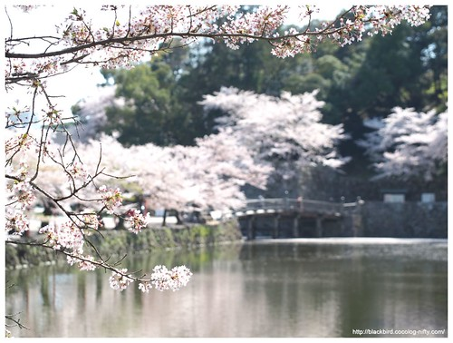 Cherry blossoms 20140415 #01